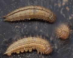 gatekeeper, Pyronia tithonius, larva (David_W_1971) Tags: butterfliessatyrinae jow2018