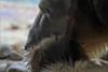 Toronto Zoo - Polar Bear (meniscuslens) Tags: polar bear toronto zoo canada fur eye