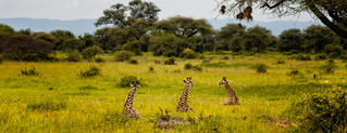 giraffes lying down