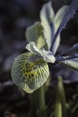 Frosted VII (Josieroo13 (Bear with me whilst I play catch up)) Tags: foliage frost frosted frosting hoarfrost jackfrost plant winter winterwonderland winterhues botanical botany angleseyabbey nt nationaltrust nature naturesart england englishcountrygarden cambridgeshire uk flora iris