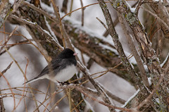 Dark-eyed Junco (janelle.streed) Tags: darkeyedjunco junco juncohyemalis birds animals wildlife nature outdoors minnesota spring snow snowing