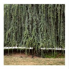 Curtain (ngbrx) Tags: estavayerlelac broye fribourg switzerland plant pflanze green grün baum tree freiburg schweiz suisse svizzera curtain vorhang vorgarten