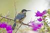 Eastern Spinebill (chrisprohm) Tags: backyardbirds australianbirds birdsofnsw