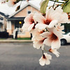 Matching {Explored 3/16/2018} (moke076) Tags: nola neworleans louisiana travel vacation trip iphone cell cellphone mobile tree flower nature bloom matching colors pink peach house focus dof tung oil tungoiltree explore explored flickr