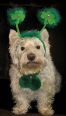 "3/12A ~ ""Riley's Wish For You"" (ellenc995) Tags: riley westie westhighlandwhiteterrier stpatricksday 12monthsfordogs18 thesunshinegroup coth coth5 alittlebeauty fantasticnature thegalaxy worldofanimals 100commentgroup"