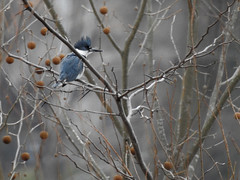 JLJ900_1181_edited-1 (Joni James) Tags: jonijames morgancountyindiana white river greenway trail old town waverly park belted kingfisher female