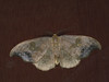 Sabra harpagula - Scarce hook-tip - Серпокрылка дубовая (Cossus) Tags: drepanidae drepaninae sabra пестово серпокрылка 2010