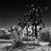 (Chad Cooksey) Tags: infraredfilm rollei hasselblad mediumformat 120 film 120film analog zeiss joshuatree 6x6 epsonv800