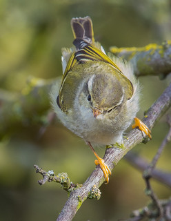 Yellow Browed Warbler. Wombwell Ings RSPB, South Yorkshire.  DSC_9725.jpg