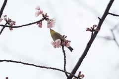 _3188169.jpg (plasticskin2001) Tags: mejiro sakura bird flower
