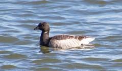 7K8A7371 (rpealit) Tags: scenery wildife nature barnegat lighthouse state park brant goose bird