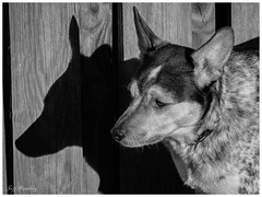 """A Dog And His Shadow <a style=""""margin-left:10px; font-size:0.8em;"""" href=""""http://www.flickr.com/photos/40637709@N04/40838066792/"""" target=""""_blank"""">@flickr</a>"""