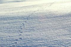 Gone?? (irio.jyske) Tags: tracks trace spoor gone walking run winter frost freeze frozen sun morning naturepic naturephotograph naturepictures naturephotographer naturephotos naturepics naturescape naturephoto nature landscapepic lanscape landscapephotograph landscapes landscape landscapephotographer landscapephotos lakescape la