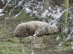 Here is Mammy Caught in a barbed-wire fence! 19-03-2018 (gallftree008) Tags: where codublin county classic co dap dublinairport dub eire eireann grass ireland irish irishwildlife march mammy mum sheep nature naturesbeauties naturescreations wool is she stuck barbedwire fence robin red breast wren came along see what was going on farmers field back dublin airport