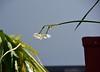 Benvenuto raggio di sole (giorgiorodano46) Tags: daffodils giunchiglie giunchiglia narcissustazetta sole pioggia sun rain giorgiorodano marzo2018 march 2018 nikon