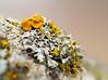 Xantoria parietina (stefan.urlbauer) Tags: ast baum flechte garten makro stacking