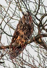 Kalous ušatý (asio otus) (Pavel Trhon) Tags: pták bird owl zima winter ucho uši ears chlumec