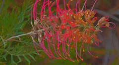 Grevillea (el-liza) Tags: outdoor outside nature flora trees plant flowers blossom blooming macro colourful closeup vibrant vivid exotic red australia grevtllea