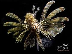 IMG_4376-M1s (oalard) Tags: redsea merrouge egypt egypte lion fish nightdive submarinephotography sousmarine g16