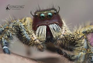 Sneaking a peek into a heavy jumper(Hyllus sp.)'s 'tongue'