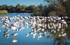 CAMARGUE - Flamingos (moni-h) Tags: camargue herbst landscape landschaft mittelmeer natur olympusm40150mmf28 oktober2017 olympusomdem5markii paca provence saintesmariesdelamer südfrankreich provencealpescôtedazur frankreich fr flamingos ornithologischerpark