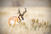 Pronghorn (Antilocapra americana) in Grand Teton National Park (Jim Frazee) Tags: pronghorn antilocapraamericana grandtetonnationalpark