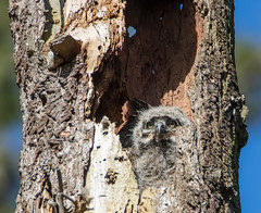 Great Horned Owlet (RebelRob) Tags: britishcolumbia birds birdwatching birdsofprey greathornedowl owls bubovirginianus vancouverisland victoriabc nest