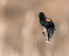 Red-winged Blackbird (Brian_Harris_Photography) Tags: red winged blackbird black yellow orange marsh swamp wildlife bird migration spring singing exposure nikon nikkor lens light sunlight sunshine winter cattails