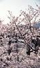 Cherry blossoms of the Kintai-kyo Bridge side,Iwakuni city 2018/03 No.9(taken by film camera). (HIDE@Verdad) Tags: asahipentaxspotmatic lzosindustar61lzmc50mmf28 industar61 industar61lzmc50mmf28 pentax pentaxsp fujifilm superiapremium400