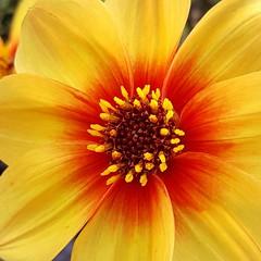 Flower (Geoff Fagan) Tags: flower macroflower flowerlovers flowerlover floweraddict floweraddicts flowergarden macro macrodreams macrophotography garden nature near close closeup
