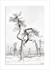 Hautes Fagnes - Noir Flohay (David Jonck) Tags: davidjonck naturereserve nikon winter wallonie nature highfens belgië belgique snow sneeuw hogevenen baraquemichel landschap noirflohay belgium hiver 24 nikor eupen landscape wallonië d850 hautefagnes