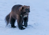 Ähtäri Zoo, Finland (Ninara) Tags: wolverine ahma ähtäri ähtärizoo winter wildanimal animal zoo talvi