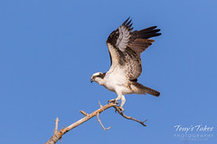 Male Osprey landing sequence - 19 of 28