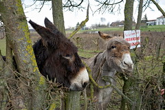 They were too cute ! (Chemose) Tags: bourgogne burgundy southburgundy bourgognedusud charnaylèsmâcon mâconnais âne donkey animal france sony ilce7m2 alpha7ii février february winter hiver