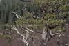 Ancient Pine (prajpix) Tags: pine scots caledonianforest pinewoods ancient woods tree trees nature regeneration sutherland einig highlands scotland
