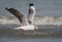 Grey-headed Gull (Tris Enticknap) Tags: africa greyheadedgull nikond500 gulls tanjibeach thegambia kombosouth chroicocephalusgenei