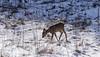 P1510640-Reh auf einer Waldlichtung (Bine&Minka2007) Tags: reh rehe deer wald forest schnee winter wildlife wildtiere weis lichtung waldlichtung hungrig hunger leica100400 lumix gx8 germany christal