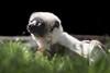 Sun Worshiper (helenehoffman) Tags: sifaka africarocks wildlife prosimian primate mammal madagascarforest sandiegozoo propithecuscoquereli coquerel'ssifaka animal madagascar nature conservationstatusendangered