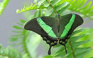 Papilio palinurus / Machaon Émeraude / Emerald Swallowtail