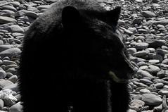 The baby black bear and me (Ten years on)  (8) (DESPITE STRAIGHT LINES) Tags: bear wildbear blackbear wildblackbear blackbearursusamericanus ursusamericanus bearcub animal wildanimal bc britishcolumbia canada encounterwithablackbear sombriobeach sombriobeachbc nikon paulwilliams despitestraightlines despitestarightlinespaulwilliams