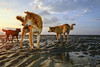 The dogs at Can Gio beach (-clicking-) Tags: streetphotography streetlife animals dog beach sunrise morning vietnam