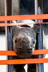 Black rhinoceros Mara (Blijdorp) (Roberto Maldeno) Tags: mara blijdorp zoo rotterdam rhinoceros neushoorn rhinobaby the netherlands