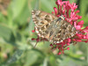 Carcharodus alceae - Mallow skipper - Толстоголовка большая мальвовая (Cossus) Tags: carcharodus hesperiidae pyrginae 2007 форос толстоголовка skipper