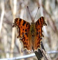 Comma Polygonia c-album (ERIK THE CAT Struggling to keep up) Tags: shredicote staffordshire lepidoptera butterflies ngc npc
