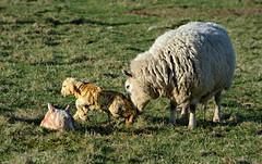 A helpful nudge from mum. (Davie Main) Tags: newbornlambs lambs lamb newborn springlambs spring gladhouse midlothian ewe sheep farm sheepfarm gladhousereservoir nikond7100