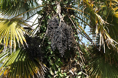 Bunches of Palm Seeds (Torquay Palms) Tags: torquay torbay tor bay the english riviera south devon westcountry uk united kingdom gb great britain england chusan palm tree centre erc abbey park trachycarpus fortunei tfortunei seeds fruit 28 march 2018 canon eos m