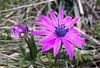 La bellezza dell'Anemone (Scagliediterra) Tags: anemonehortensis fiori flower nature natura spring primavera conero marche colors colori blumen