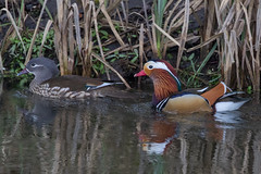 pair of mandarin ducks (colin 1957) Tags: mandarin ducks littleouse