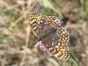 Melitaea phoebe - Knapweed fritillary - Шашечница коровяковая (Cossus) Tags: nymphalidae nymphalinae анциферово шашечница 2007 melitaea fritillary