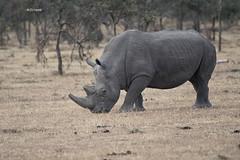 White Rhino (featherweight2009) Tags: whiterhinoceros ceratotheriumsimum rhinoceroses rhinos squarelippedrhinoceros mammals africa